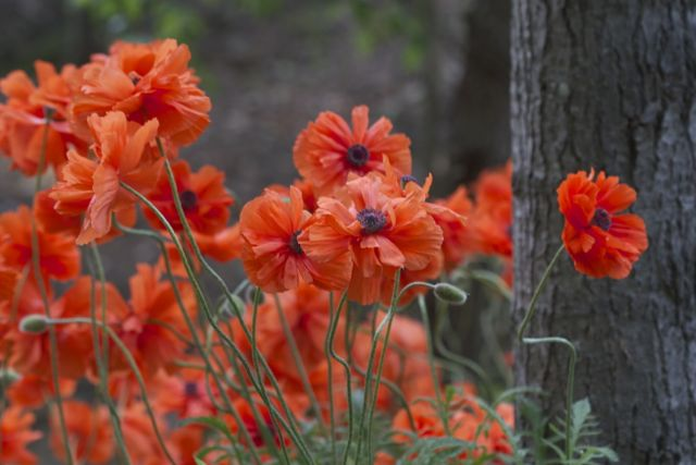 A type of red poppies.