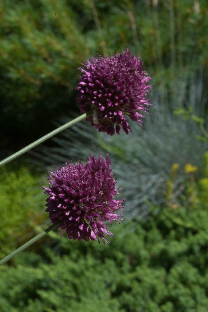 Bright_Wild Garlic-vert_IMG_3185