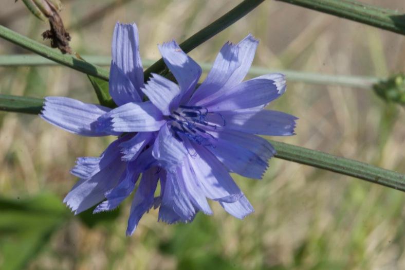 Bright_7-28-16_Chicory-CU profile_IMG_6733