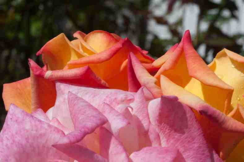 bright_10-19-2016-small_multicolored-roses_img_5667
