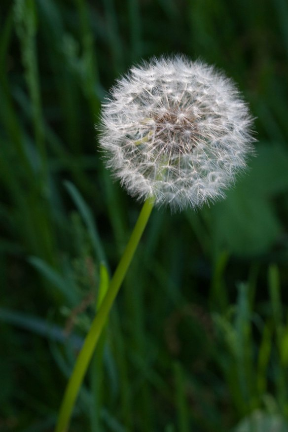 bright_dandelion-white_img_1729