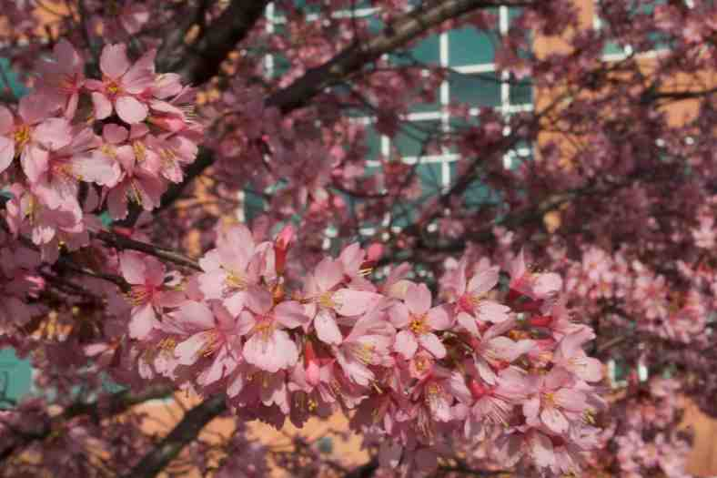 cherry-blossoms-img_9356