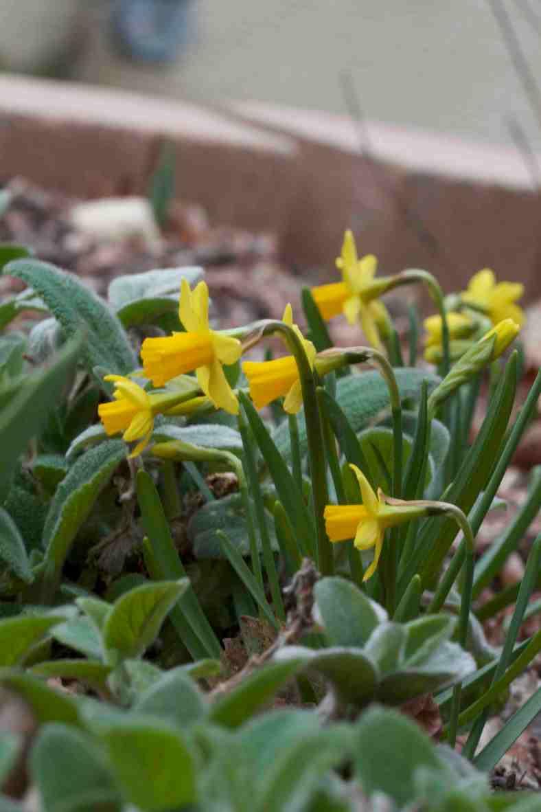 dwarf-daffodils_img_9364