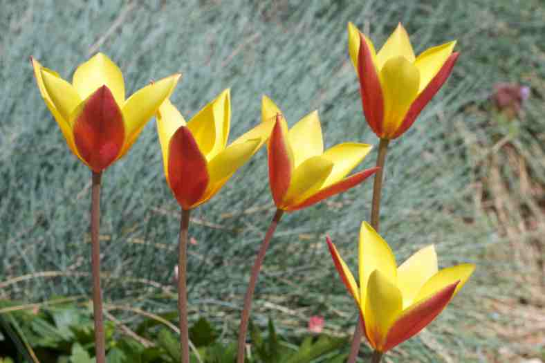 Bright-5-18-17_Clusiana tulip_IMG_0206