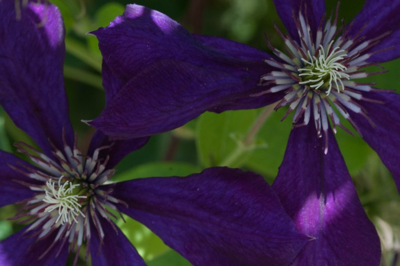 Bright_7-12:17_Clematis_IMG_6541