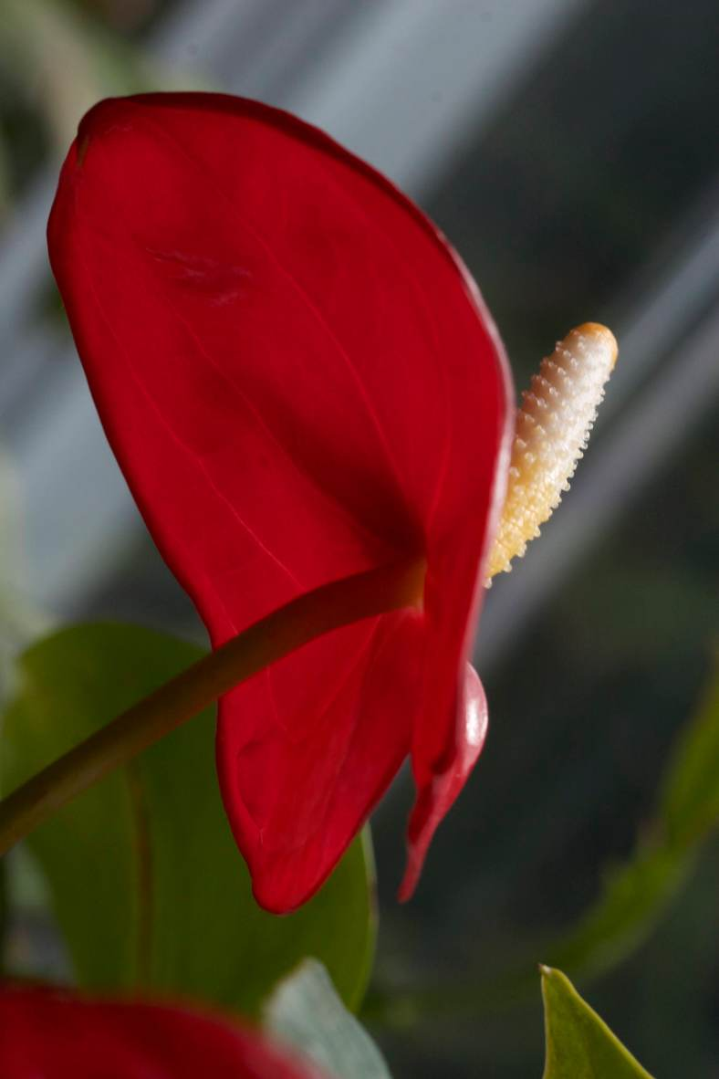 Bright_3-22-2018_Anthurium_IMG_4380