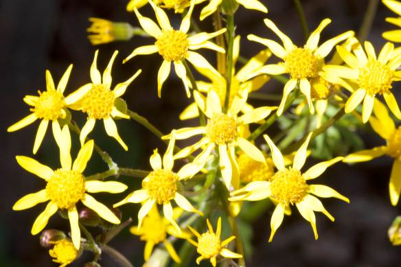 Bright_4-19-2018_Golden Ragwort_IMG_9981