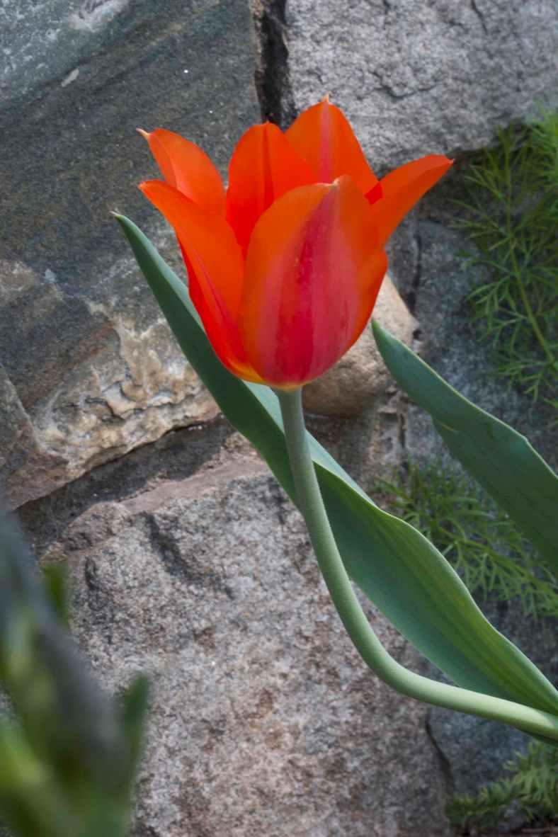 Tulip_IMG_0460
