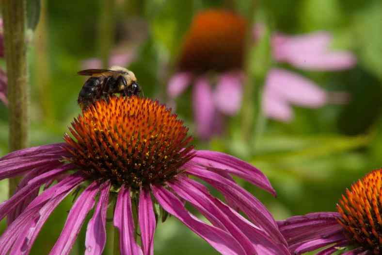 Bright_11-15-2018_Bee cone flower_IMG_6657