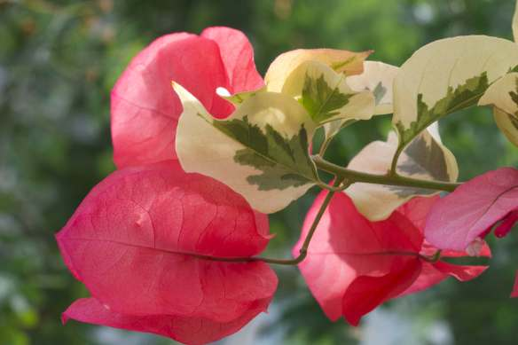 Bright_12-6-2018_Bougainvillea_IMG_9026