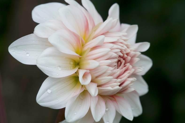 Bright_2-28-2019_White Dahlia_IMG_2327