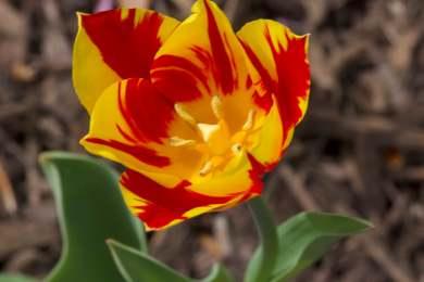 Bright | 2019-04-11 _Tulip1_IMG_6232