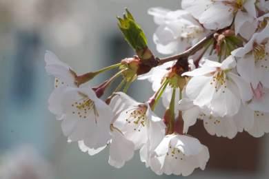Bright_2019-04-04_Cherry Blossom1_IMG_6110