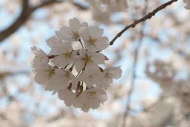 Bright_2019-04-04_Cherry blossom2_IMG_6124