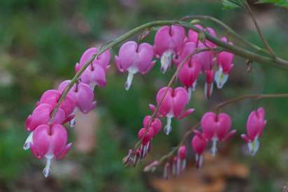 Bright_4-15-2019_Bleeding heart1_IMG_6249