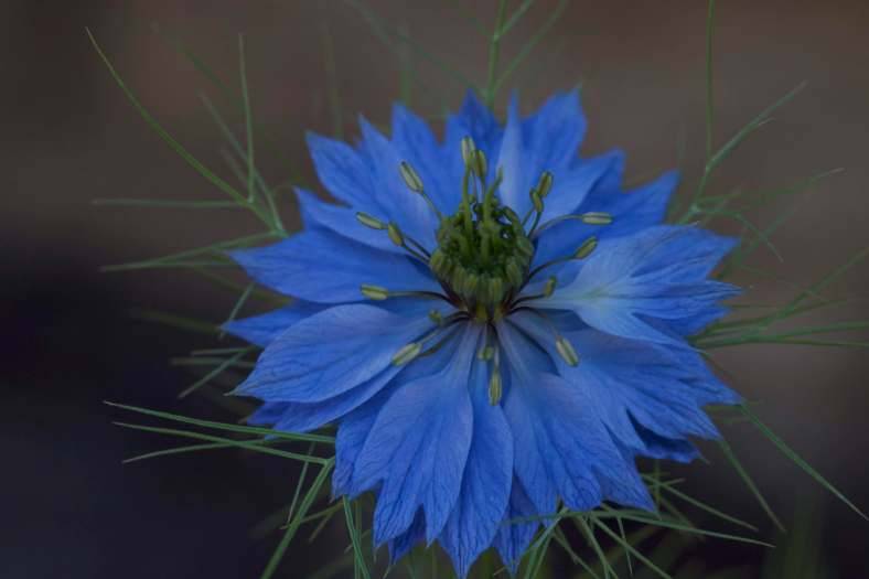 BRIGHT_5-30-19_Love-in-a-Mist1_IMG_6493