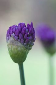 Bright_Purple Allium-early_IMG_6369