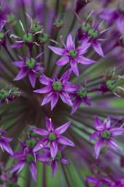 Bright_Purple allium2_IMG_6408