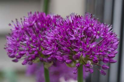 Bright_Purple Allium3_IMG_6417