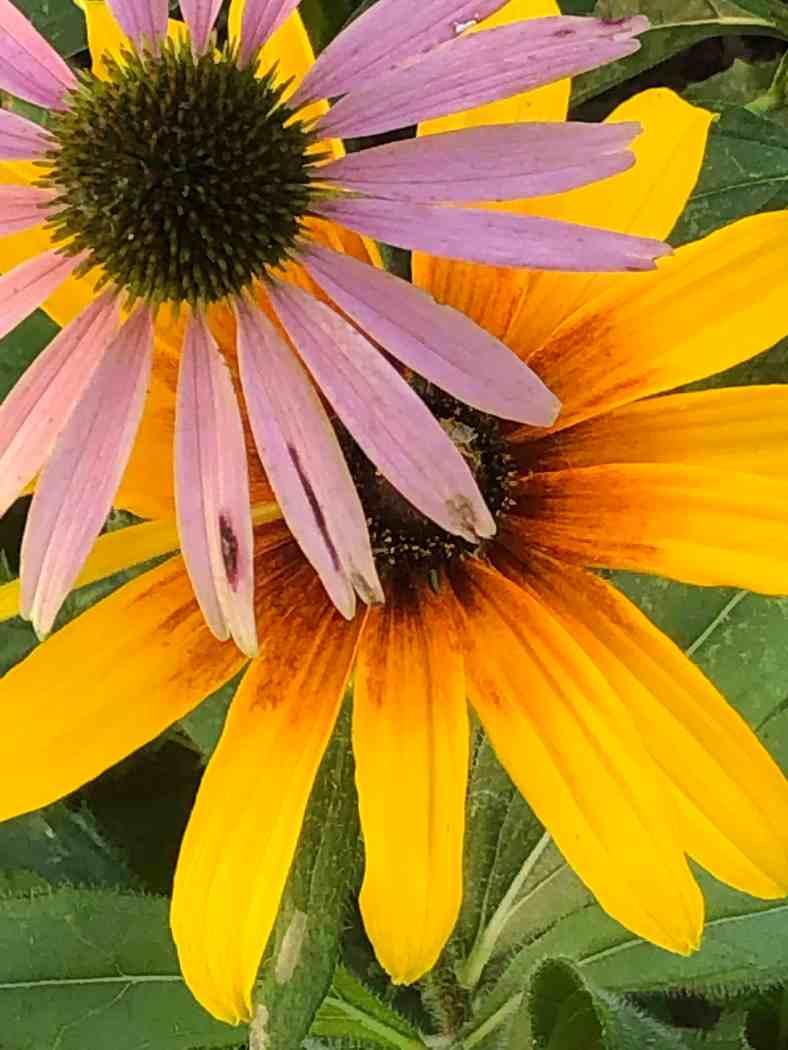 Bright_8-15-2019_Sunflower-echinacea_IMG_6408