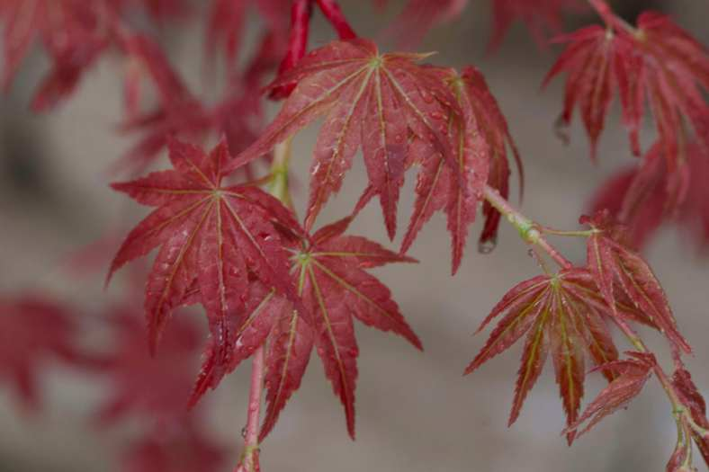 Bright_11-14-2019_Japanese maple red_IMG_6161